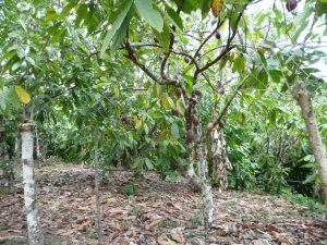 La pianta del cacao