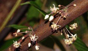 La fioritura della pianta del cacao