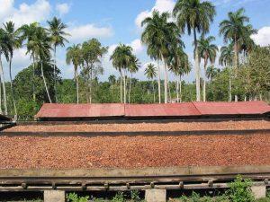 i semi di cacao vengono essicati alla luce del sole