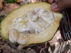 semi del cacao