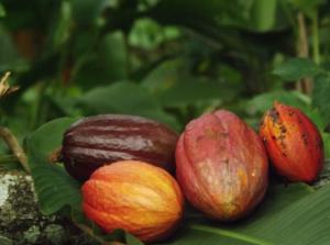 La cabossa, il frutto della pianta del cacao